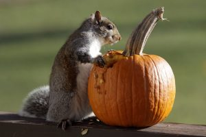 squirrel_pumpkin