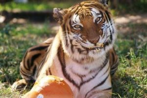 tiger_pumpkin